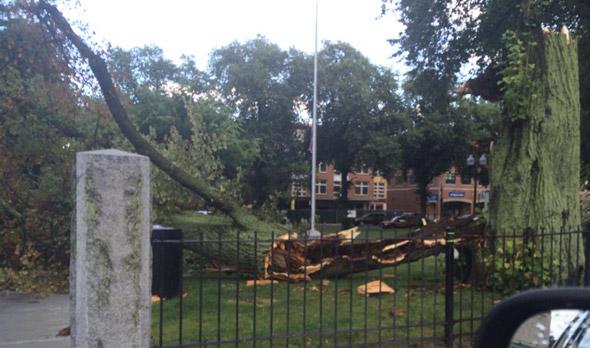 Cracked tree in Adams Park in Roslindale Square