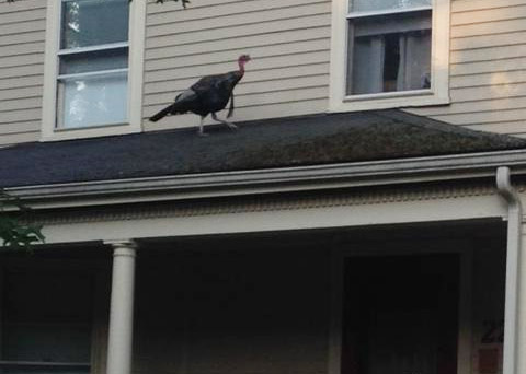 Turkey on a porch roof in Belmont
