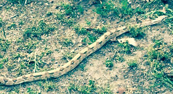 Boa constrictor in Braintree