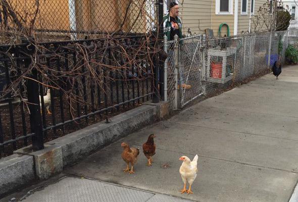 Chickens in Cambridgeport