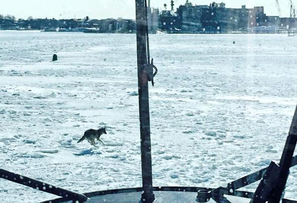 Coyote on ice off Quincy