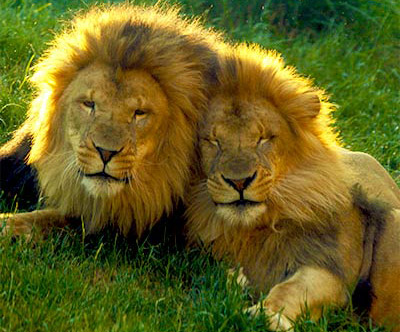 Dinari and Kamaia - new lions at the Franklin Park Zoo