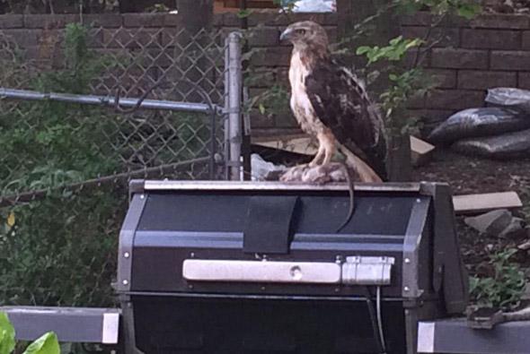 Hawk and rat in Roslindale back yard