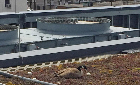 Goose and eggs atop WGBH building in Brighton