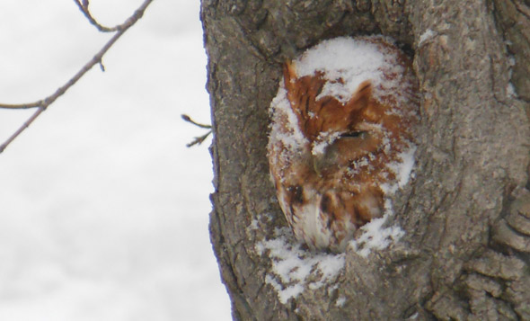 Owl in West Roxbury