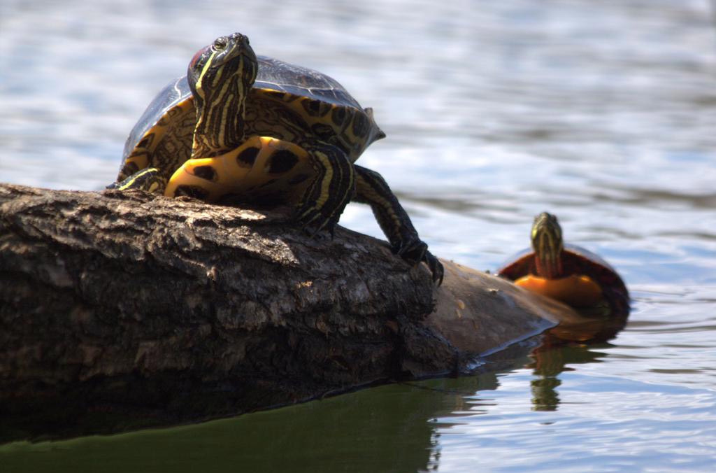 Turtles at Jamaica Pond