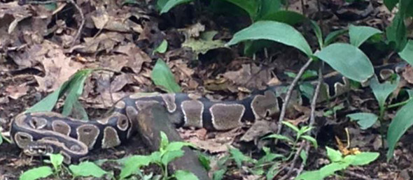 Missing snake in Brookline