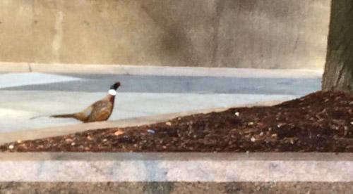 Pheasant in the Back Bay