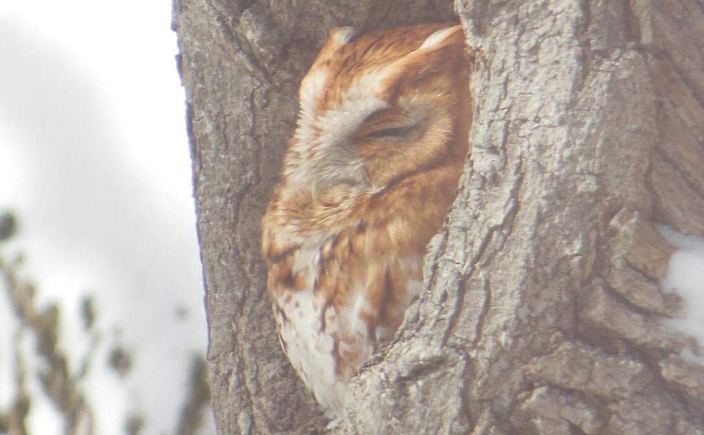 Screech owl in West Roxbury
