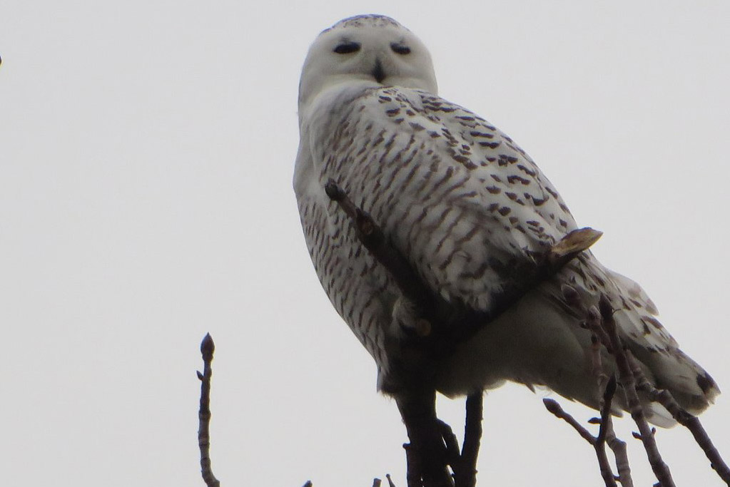 Snowy owl at Castle Island in South Boston