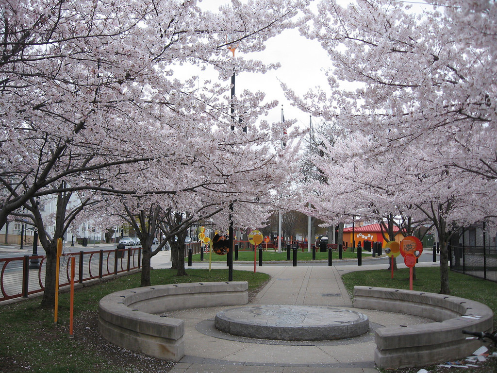 Blooming cherry trees in Somerville
