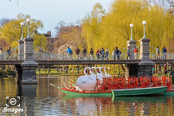 Swan Boats back in the Public Garden Lagoon in Boston
