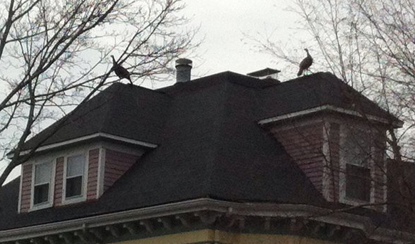 Two turkeys atop a house in Roslindale