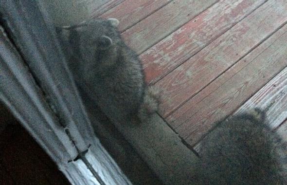 Raccoons in Allston