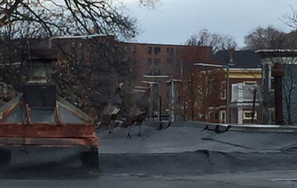 Turkeys on a roof in Jamaica Plain
