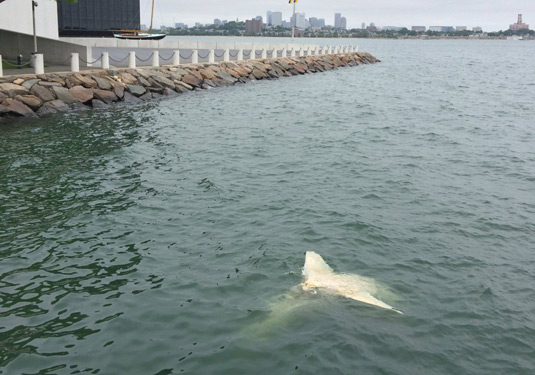 Dead shark off Columbia Point in Dorchester