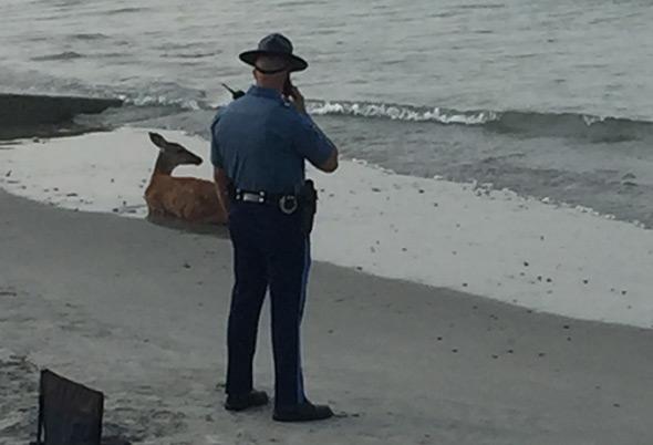Deer and Massachusetts state trooper at Nantasket Beach, Hull