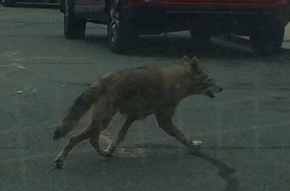 coyote in Dorchester