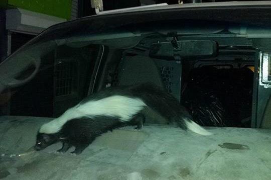 Skunk in a car in East Boston