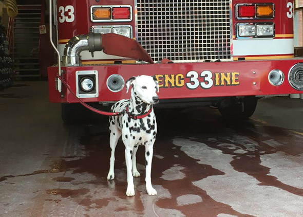 Dalmation at Engine 33 in the Back Bay