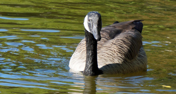 A goose in Boston's Public Garden