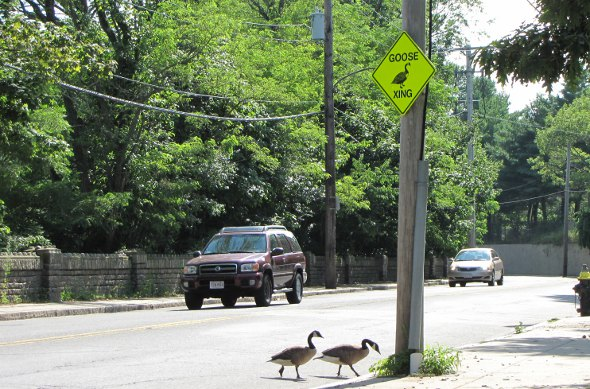 Geese observing traffic sign in Hyde Park