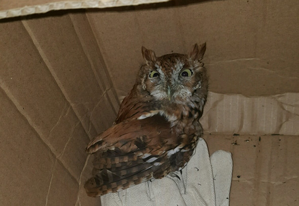 Owl rescued by T workers