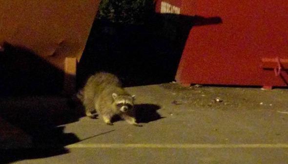 Raccoon in the Fenway