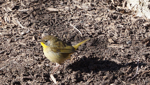 Round, yellowish bird on the Greenway