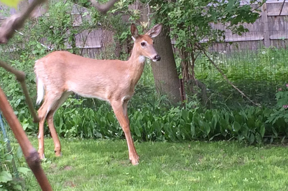 Deer in Roslindale yard