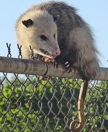 Possum at Fairmount station in Hyde Park