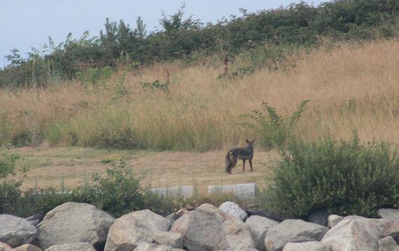 Coyote on Spectacle Island