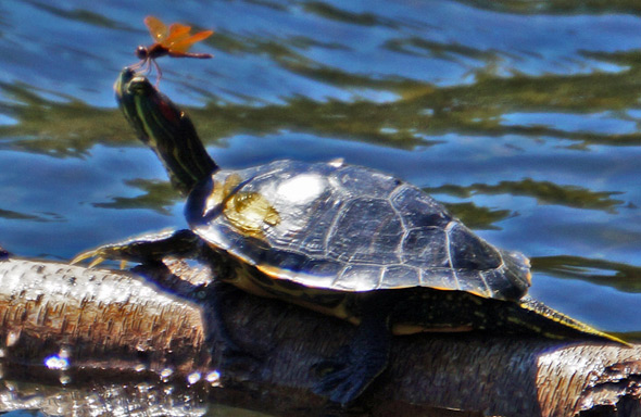 Turtle with a bug on its nose at Jamaica Pond