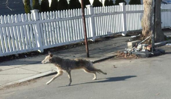 Coyote in West Roxbury