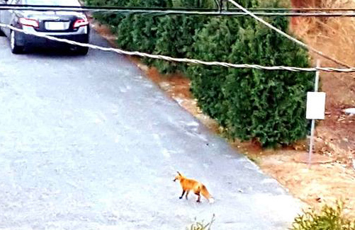 Fox in Brighton