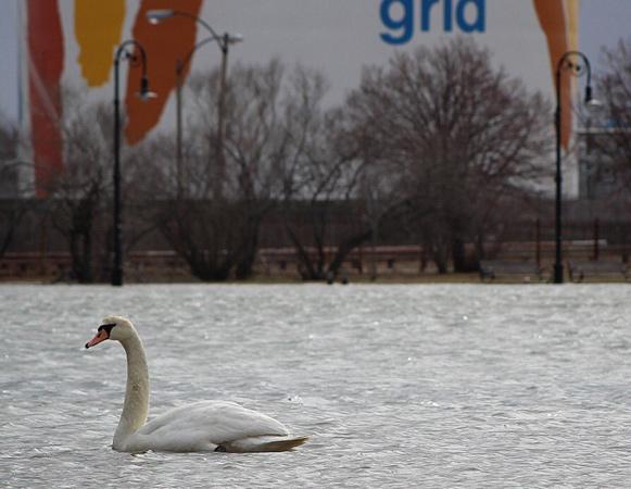 Swan in Dorchester