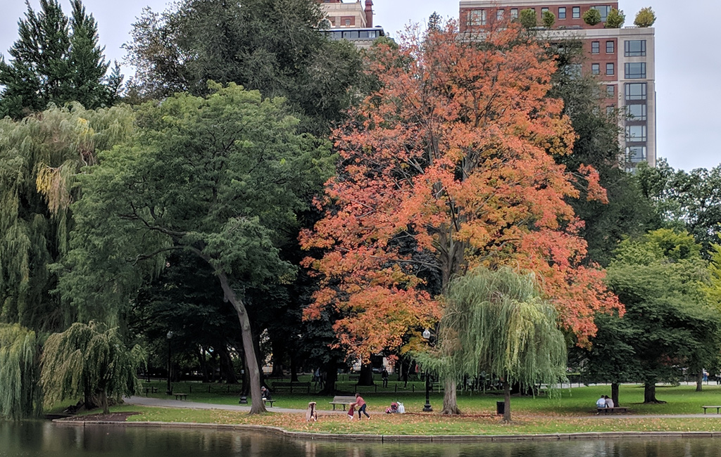 Tree with orange leaves in the Boston Public Garden