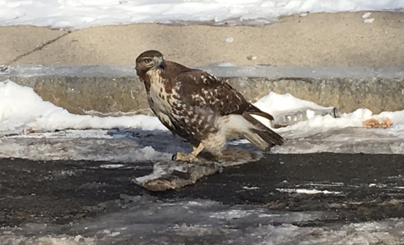Hawk with squashed, frozen squirrel in Roxbury