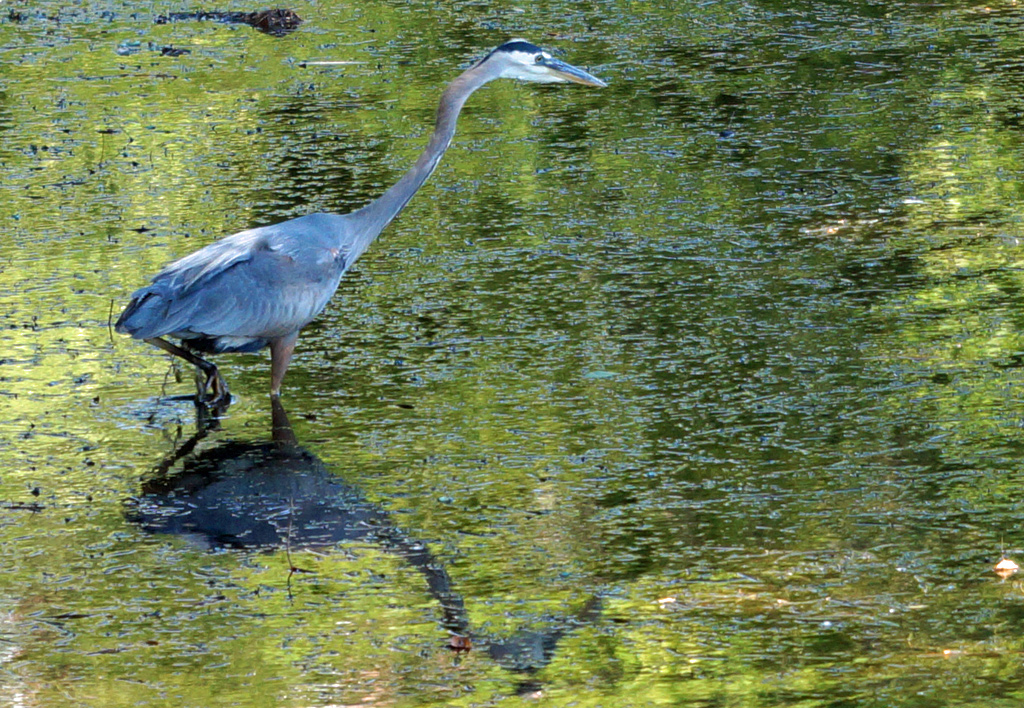 Heron at Jamaica Pond