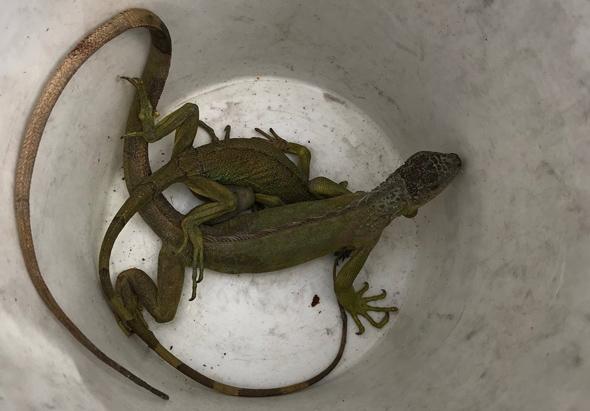 Dorchester iguanas