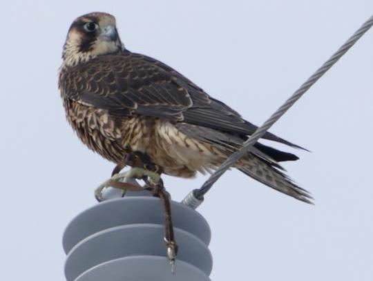 Missing falcon