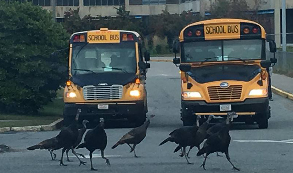 Turkeys crossing in front of school buses at the Ohrenberger in West Roxbury