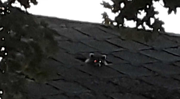 Roof raccoon