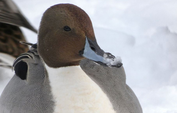 Pintail duck in the Emerald Necklace