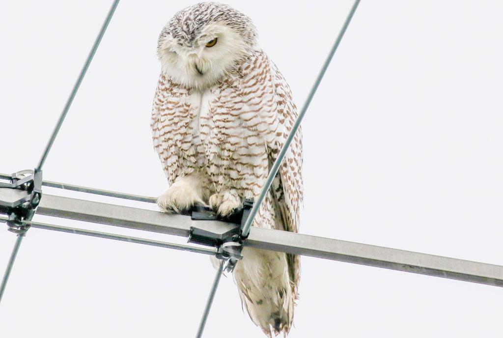 Snowy owl in Somerville