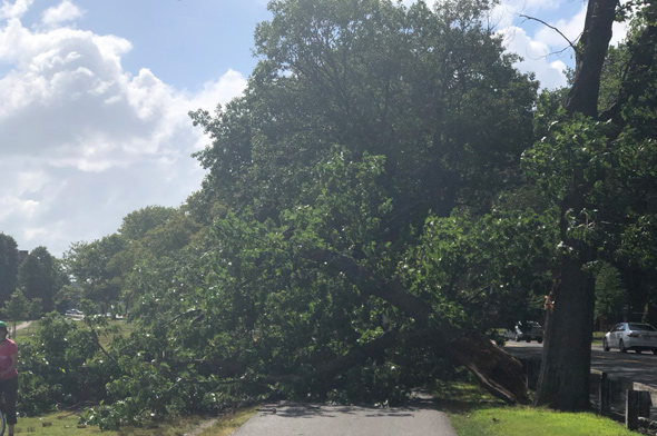 Tree falls to sidewalk along Memorial Drive in Cambridge