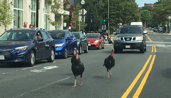 Turkeys on Centre Street in Jamaica Plain