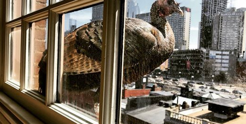 Turkey on a ledge