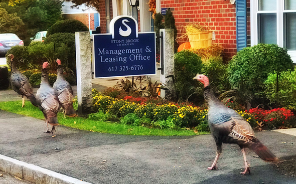 Turkeys near a swan sign in Roslindale