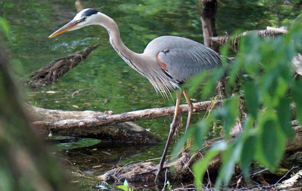 Great blue heron at Jamaica Pond